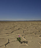 Fiore del deserto Fotografia Stock Libera da Diritti