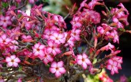 Fiore del deserto di rosso o della rosa del deserto Immagini Stock