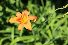 Fiore del fiore di Oragne con i pistilli gialli Immagini Stock Libere da Diritti