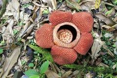 Fiore del fiore di Rafflesia Immagine Stock