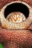 Fiore del fiore di Rafflesia Immagini Stock