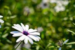 Fiore del Dimorphotheca Immagine Stock