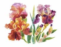 Fiore del disegno dell'iride dall'acquerello, illustrazione disegnata a mano di vettore Immagini Stock