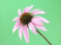 Fiore del Echinacea fotografia stock libera da diritti