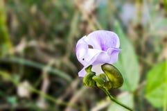 fiore del fagiolo alato blu Fotografie Stock