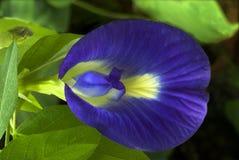 Fiore del fagiolo della farfalla Fotografie Stock Libere da Diritti