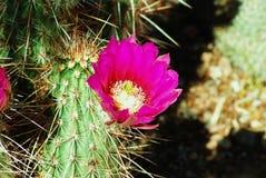 Fiore del fico d'india dell'Arizona Immagini Stock