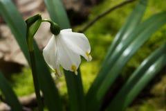 Fiore del fiocco di neve Fotografie Stock