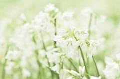 Fiore del fiocco di neve di estate Fotografie Stock Libere da Diritti