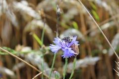 Fiore del fiordaliso Immagine Stock