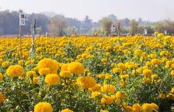 Fiore del fiore del tagete Fotografie Stock Libere da Diritti