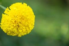 Fiore del fiore del tagete in giardino Fotografia Stock