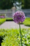 Fiore del fiore dell'aglio (allium Giganteum) Immagine Stock Libera da Diritti