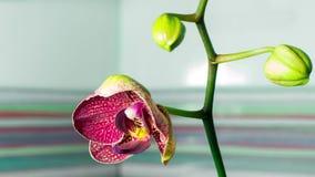 fiore del fiore dell'orchidea del primo piano 4K che cresce al rallentatore video d archivio