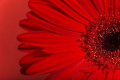 Fiore del fiore della gerbera Immagini Stock