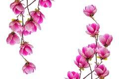 Fiore del fiore della magnolia isolato su fondo bianco Fotografie Stock