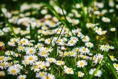 Fiore del fiore della margherita Immagine Stock Libera da Diritti