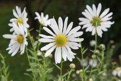 Fiore del fiore della margherita di Margerite Immagine Stock Libera da Diritti
