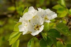 Fiore del fiore della pera Fotografia Stock
