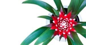 Fiore del fiore di Guzmania Fotografia Stock Libera da Diritti