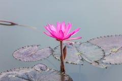 Fiore del fiore di Lotus Fotografia Stock