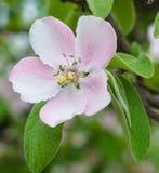 Fiore del fiore di melo Immagini Stock Libere da Diritti