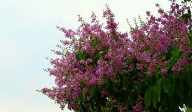 Fiore del fiore o della regina s di Inthanin, Lagerstroemia Fotografia Stock