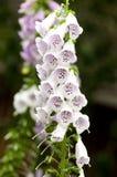Fiore del Foxglove (purpurea della digitale) Immagini Stock Libere da Diritti