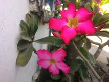 Fiore del frangipane fotografie stock