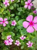 Fiore del frangipane Fotografie Stock Libere da Diritti