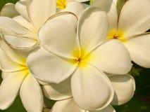Fiore del frangipane fotografia stock