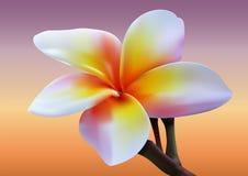Fiore del frangipane Immagini Stock Libere da Diritti