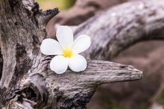 Fiore del frangipane Fotografia Stock Libera da Diritti