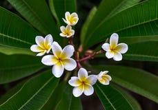 Fiore del frangipane Immagine Stock Libera da Diritti