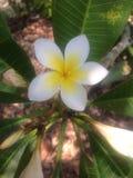 Fiore del frangipane con le foglie verdi Immagini Stock