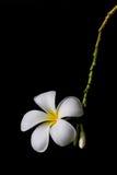 Fiore del frangipane, massaggio della stazione termale Fotografia Stock