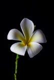 Fiore del frangipane, massaggio della stazione termale Fotografia Stock Libera da Diritti
