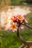 Fiore del frangipane nell'ambito della luce del sole Fotografie Stock Libere da Diritti