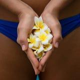 Fiore del frangipane nelle mani Immagine Stock