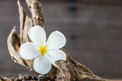 Fiore del frangipane (plumeria) su legno Fotografia Stock