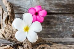 Fiore del frangipane (plumeria) su legno Fotografie Stock Libere da Diritti