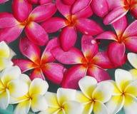 Fiore del frangipane su acqua Immagini Stock
