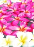 Fiore del frangipane su acqua Fotografie Stock Libere da Diritti