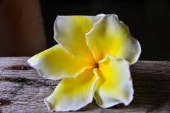 Fiore del frangipane su di legno Fotografie Stock Libere da Diritti