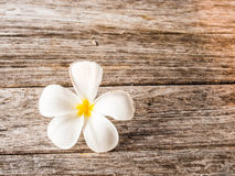 Fiore del frangipane su legno Immagini Stock