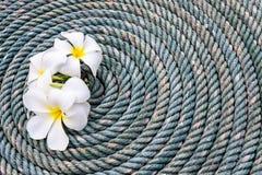 Fiore del frangipane su una vecchia corda Immagine Stock