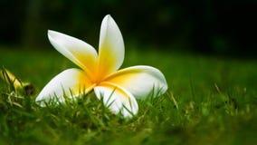 Fiore del frangipane sull'erba Fotografia Stock Libera da Diritti