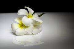 Fiore del frangipane sulla pendenza in bianco e nero Immagini Stock Libere da Diritti