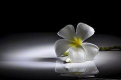 Fiore del frangipane sulla pendenza in bianco e nero Fotografie Stock Libere da Diritti