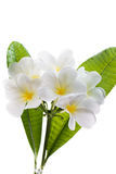 Fiore del frangipane (thom di lan) Immagine Stock